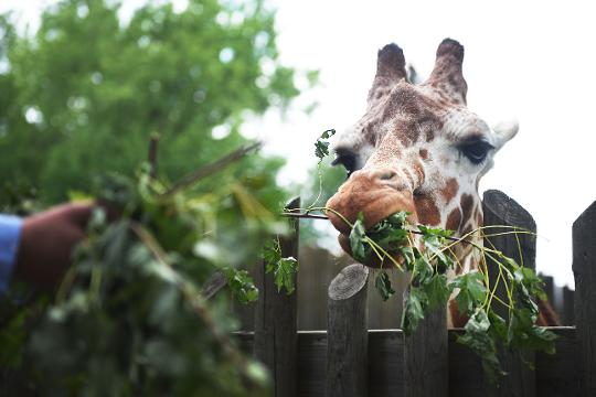 Food and Entertainment Reporter Alexa Giebink feeds Solstice at the Great Plains Zoo Tuesday, May 22, in Sioux Falls.