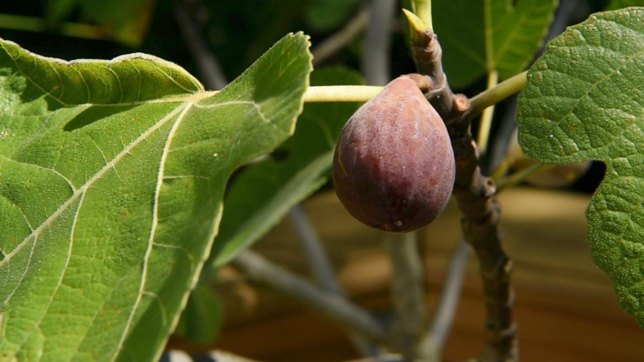 Michael Fanelli grows a variety of figs right in his backyard.