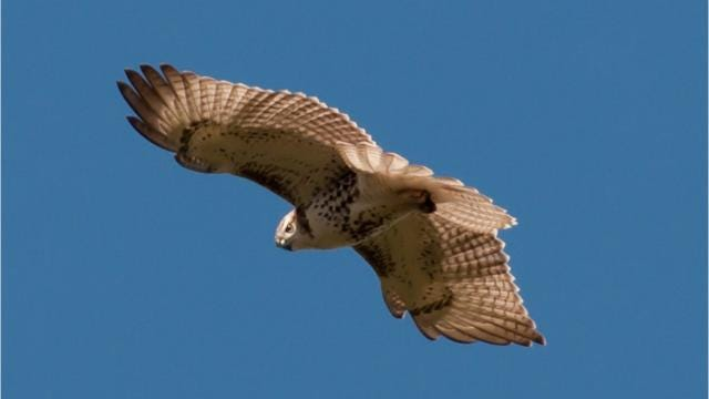 Mohonk Preserve is joining more than 120 active Hawk Migration Association of North America sites in celebrating the fall raptor migration during International Hawk Migration Week, Sept. 16-24. Barbara Gallo Farrell/Poughkeepsie Journal