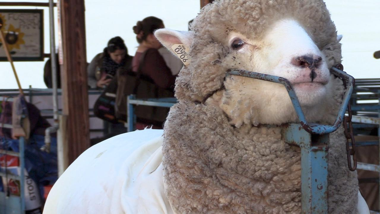 Video: Sights and sounds of the New York State Sheep & Wool Festival