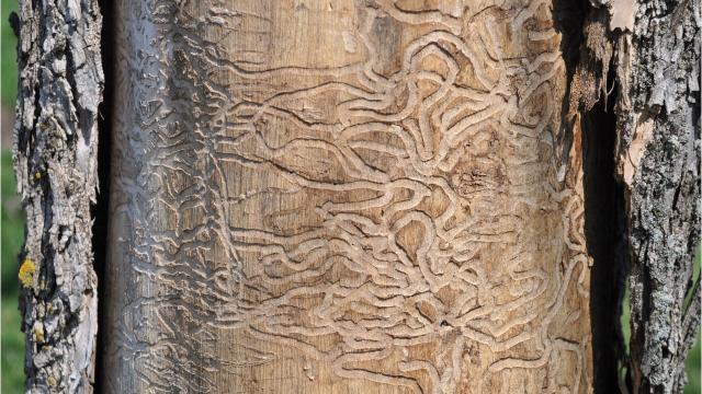 Emerald ash borer makes impact on city trees