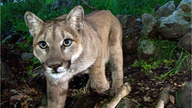 Watch: Nevada wildlife officials search for mountain lion reportedly seen in Reno