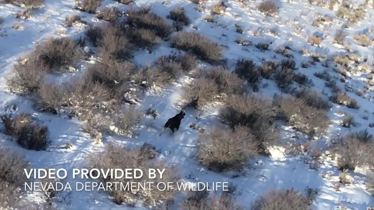 Compilation of video from January 2016 and January 2017 of moose running through Northern Nevada.