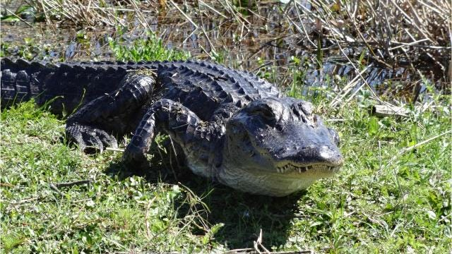 Alligators are federally protected, meaning they can only be killed with a permit, and farmed under certain regulations.
