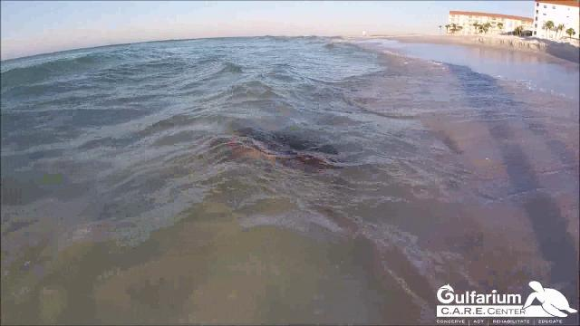 Gulfarium sets free 3 rehabilitated turtles