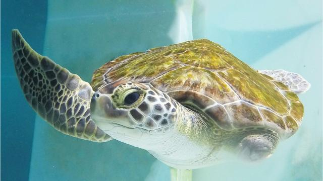 Meet Sweet Pea, Navarre Beach Sea Turtle Conservation Center's newest resident