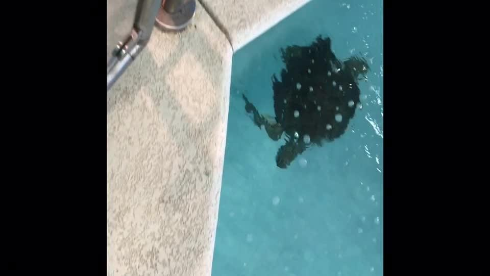 Sweet Pea, a female juvenile Green sea turtle that can no longer survive in the wild, arrives at her new home - the Navarre Beach Sea Turtle Conservation Center.