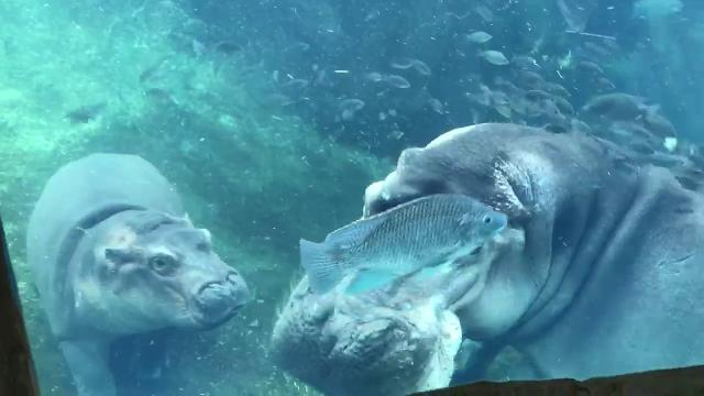 Former Dickerson Park Zoo resident Henry the hippo is still sick, but recently he felt well enough to be with his daughter Fiona at the Cincinnati Zoo and Botanical Garden.