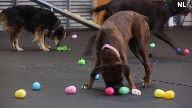Side Kick Dog Training held a Easter egg hunt for dogs. The dogs had to search for hot dogs hidden in the green eggs.