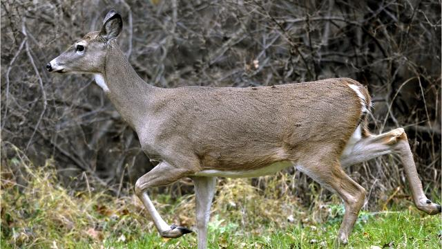 CWD is a deer-killing disease that leaves their brains full of holes. What is this always-fatal condition and how do people fight its spread?