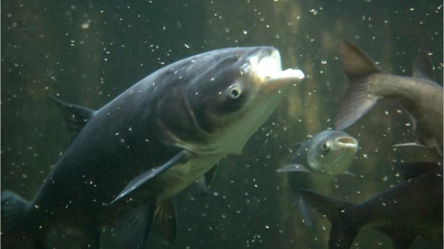 Illinois waterways tested for signs of Asian carp