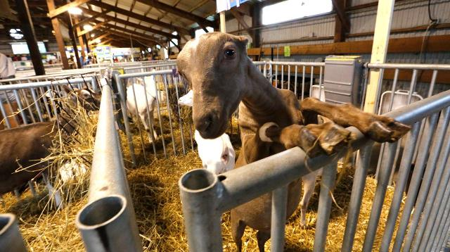Animals of the Fond du Lac County Fair