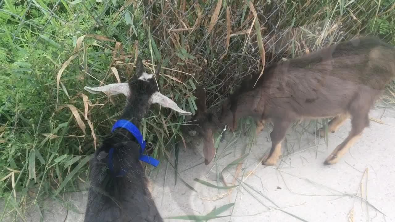 Oshkosh Area Humane Society admissions manager Cari Tetzlaff talks about three goats the Winnebago County Sheriff's Office found near a busy road in the town of Omro. (Aug. 11, 2017)