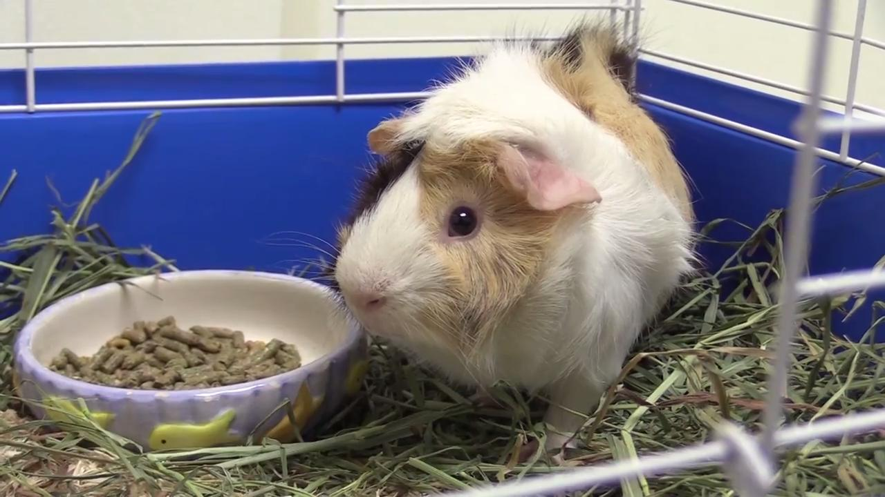 Petey is a guinea pig who likes to be held and explore.  Petey will do well with a first time pet owner or with other guinea pigs to round out your home.  He would love to have someone come and hold him and take him home.