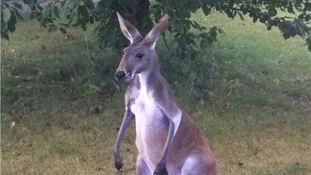 Dashcam video of escaped kangaroo in Kenosha County