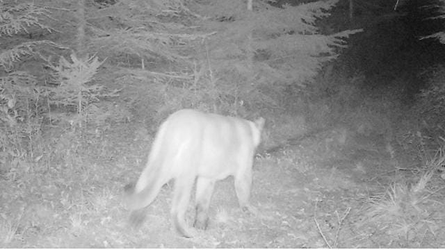 A cougar was captured on video in early August south of Neillsville and another photo was taken in early September east of Marathon City.