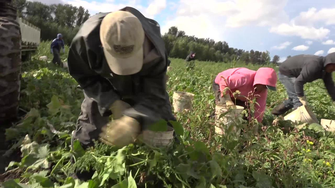 Without access to an adequate and stable workforce for harvest, farmers like Burr and Rosella Mosby are being forced to leave fresh produce to rot in the fields.