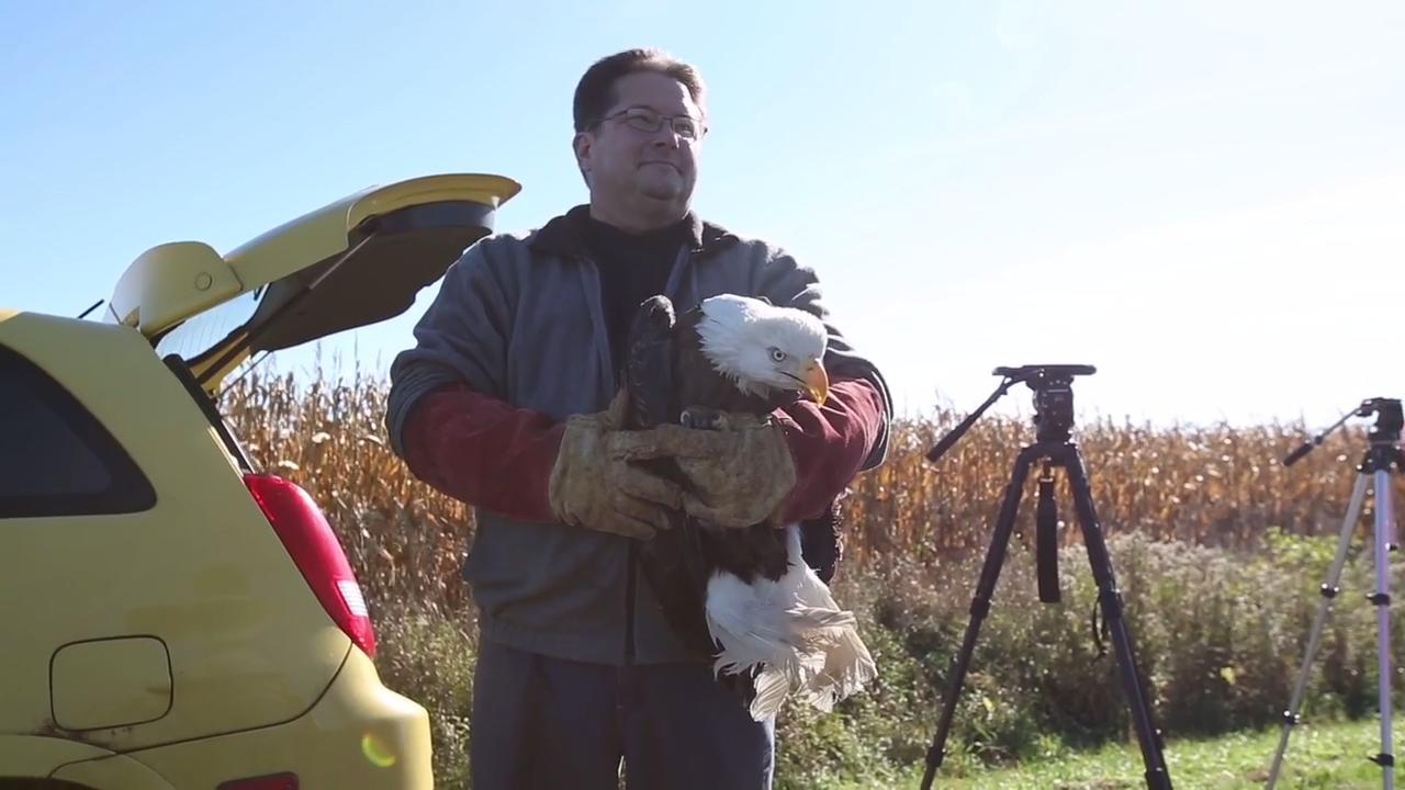 Bald eagle released back into wild