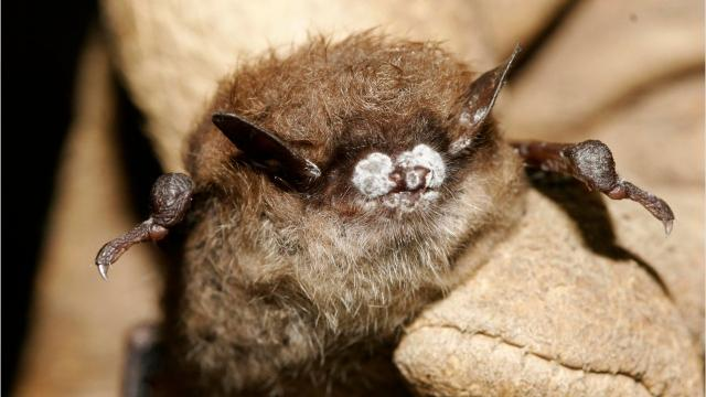 UV light may be key to fighting White-nose syndrome