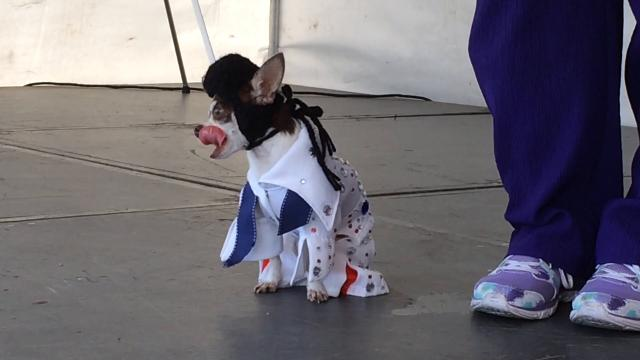 The Door County Cooperative Country Store in Sturgeon Bay hosted a pet costume contest Oct. 21, 2017. Among the contestants were a daschhound named Morris and chihuahua named Vinnie.