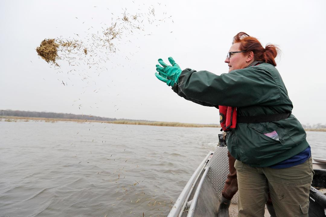 Conservation professionals and volunteers seeded wild rice across 19 acres of the bay of Green Bay on Tuesday.
