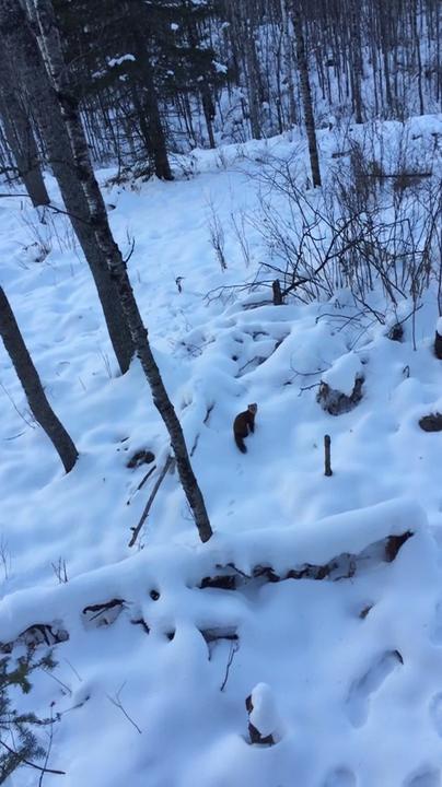 A pine marten bounces through the snow