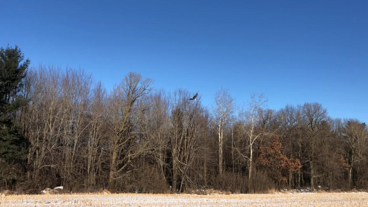 A bald eagle flies from its perch along County K east of Waupaca on Dec. 31.