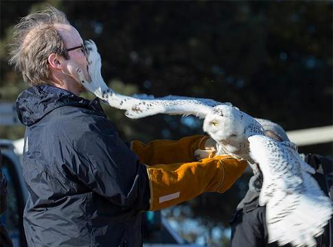 Video: Rehabbed snowy owl released back into the wild