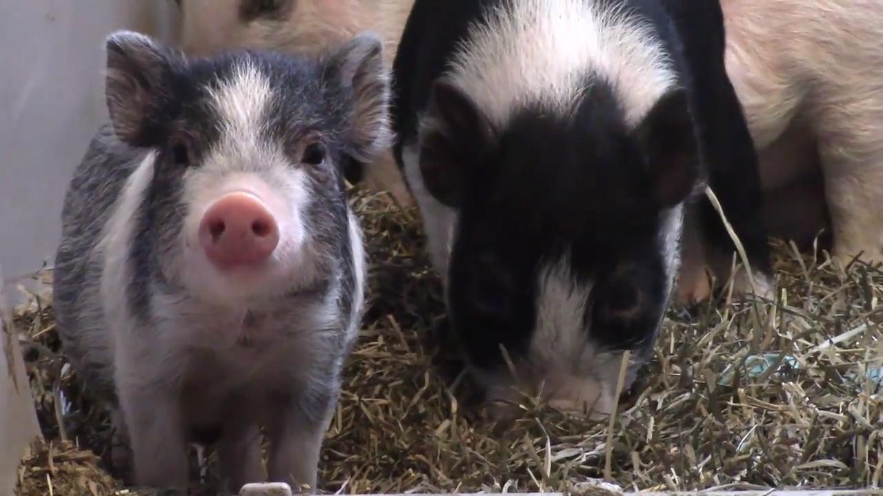 Pigs and birds were removed from a house and are being cared for at the humane society.
