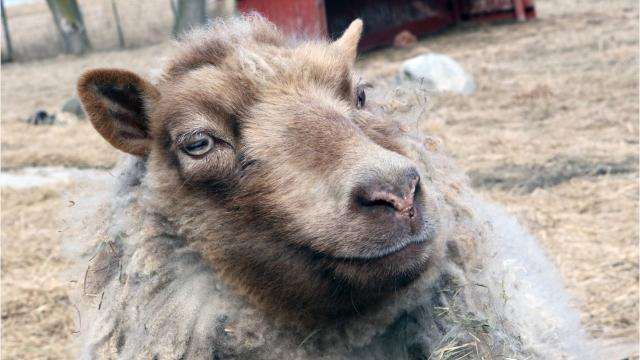 A blind sheep inspires a children's book, which will soon be available to visually impaired individuals.