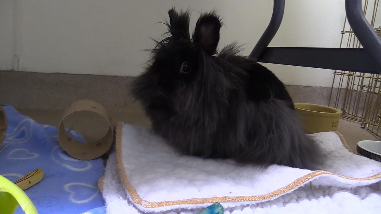 Fluffinator is an one and a half year old Lion Head rabbit who is full of spunk. She loves to explore and will do well in a forever home where she can un, hop and play.  She loves to be pet and cared for in her new home.