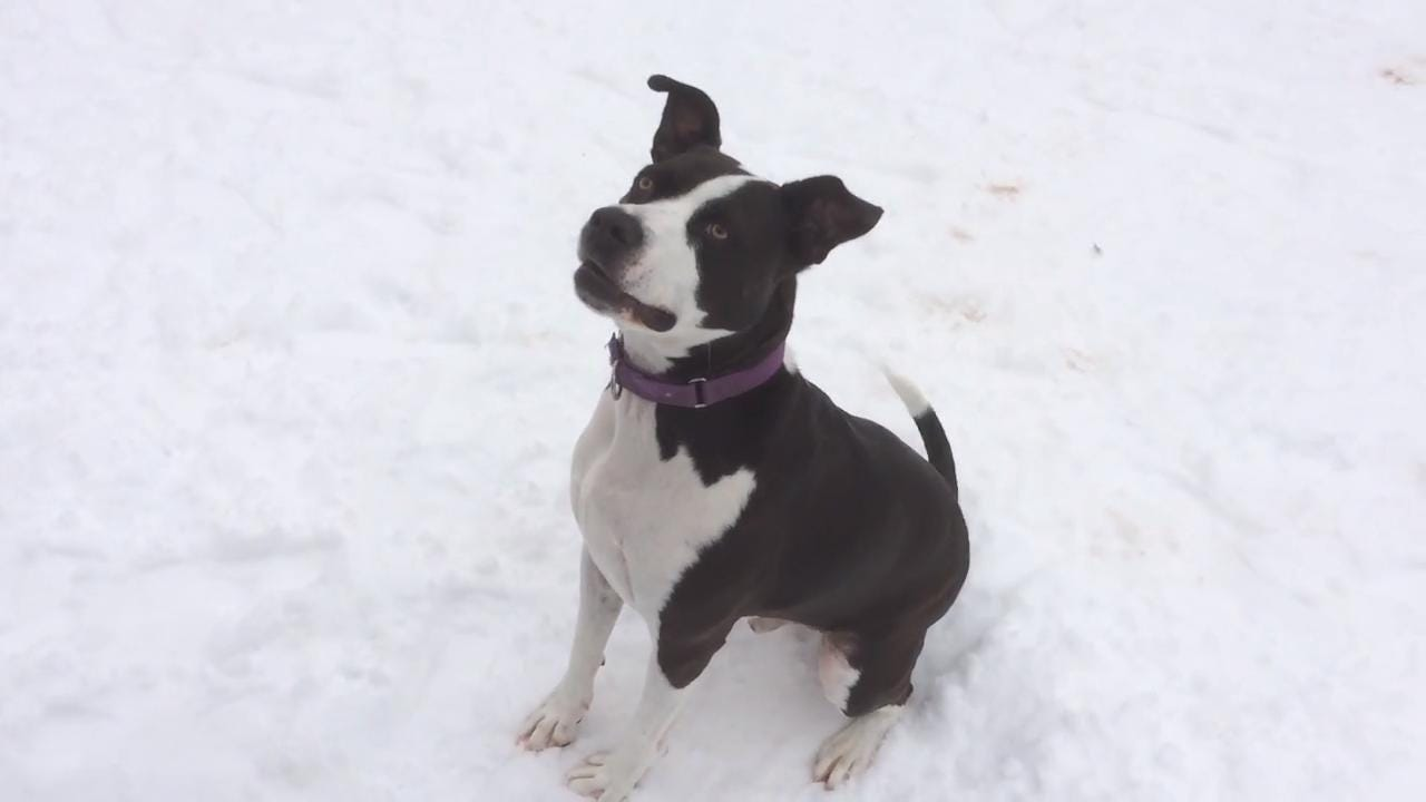 Zip is a high energy 2 year old male that loves walks and loves to fetch.  He will do well with older children.  He likes other dogs. He is looking for that special active family that can go and go!