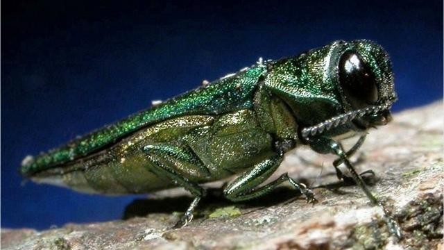 """Nine years after emerald ash borer was first detected in Green Bay, city foresters are working to slow the """"death curve"""" of the 6,000 trees on city boulevards and medians and another 1,500 in parks."""
