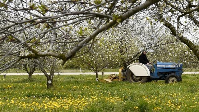 Cherry trees in Door County start to bloom
