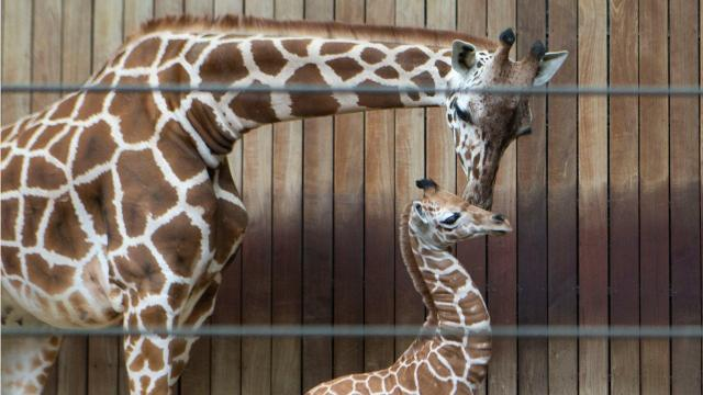 A baby giraffe born at the Milwaukee County Zoo is the sixth in the giraffe family.