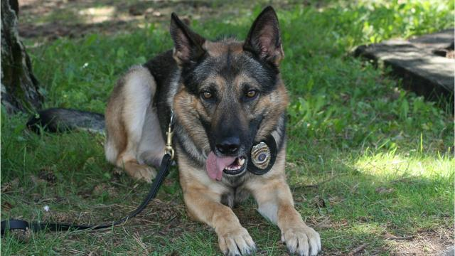 Muskego's K9 Sirius is going to be equipped with a body camera on missions. The body camera ispositioned on the back of the dog and is high enough to clear its head.