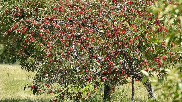 The cherry season in Door County is off to a good start with the fruit sweeter than usual due to the past weeks of warm weather
