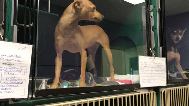 The 76 dogs seized by the Wood County humane officer and Sheriff's Department are being treated for fleas and parasites at the South Wood County Humane Society. The dogs should be ready for adoption around Oct. 8.