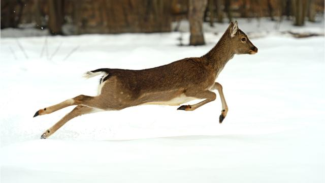 A brief explainer on best driving practices to avoid hitting deer and what to do if you hit one.