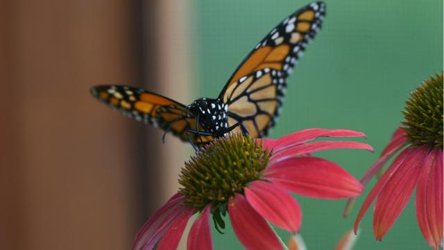 Fran Lemasters brought her traveling butterfly exhibit to the Gorman Nature Center.