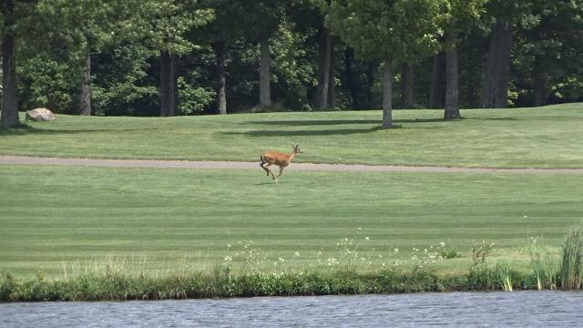 Deer race across fairway at Echo Springs