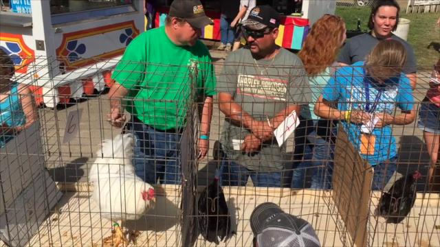 The rooster crowing competition finals at the Muskingum County Blue Ribbon Fair on Friday.