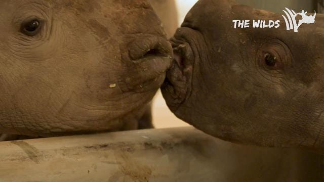 The Wilds provides a video of one of the two new male white rhino calves born at the conservation center in November.