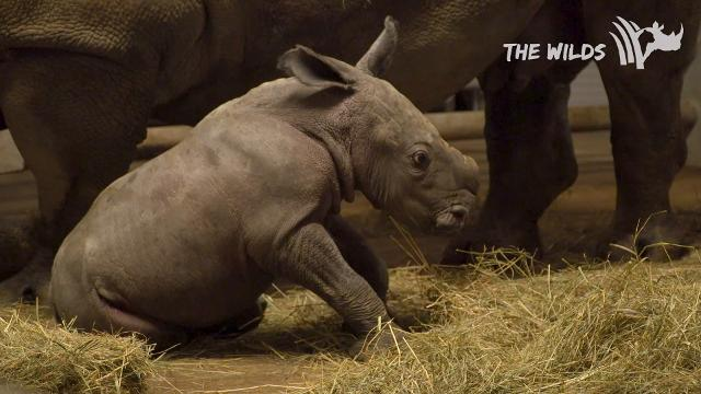 A southern white rhino was born at the Wilds in December.