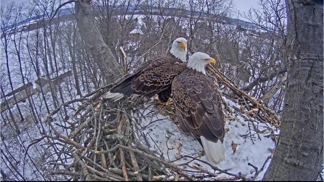 Hanover eagle cam 2017 season comes to a close