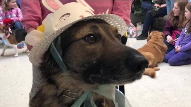 Local hounds spent their afternoons searching for Easter eggs filled with treats at Cumberland Valley Animal Shelter's Easter Hound Hunt in Chambersburg on Sunday, March 25.