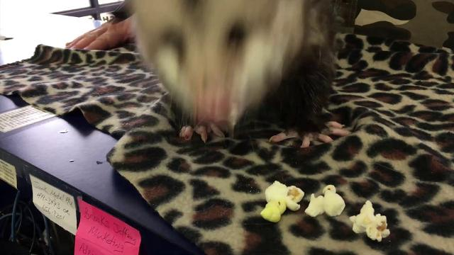 Stumpy the three-legged opossum visits the Baxter Bulletin newsroom and eats popcorn for the first time. Baxter Bulletin
