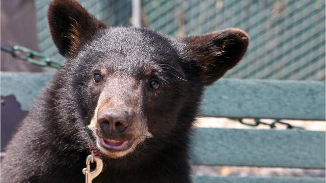 The Monterey Zoo just completed two large bear exhibits for its four black bears, including two new cubs