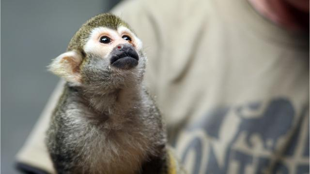 Pip the squirrel monkey was rescued by the Monterey Zoo.