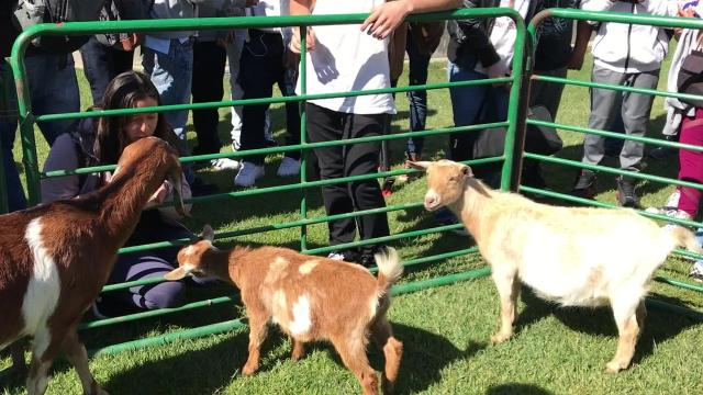 Students huddled together at Salinas High's inner court during lunch on Friday and extended their hands through the makeshift pen for a chance to pet a baby goat, pig or chicken.